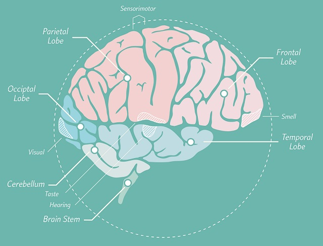 What part of the brain deals with intelligence?